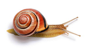 Brown-lipped Banded Snail (Cepaea) against a white background. Surrey, UK, April. - Kim Taylor