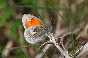 Small Heath Butterfly (Coenonympha pamphilus) in profile on a twig. Surrey, UK, May. - Kim Taylor