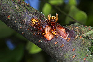 European Hornet (Vespa crabro) workers feeding on Cotoneaster sap from a wound that they have created by chewing away the bark. Surrey, UK, September. - Kim Taylor