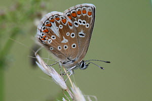 Adonis Blue Butterfly (Polyommatus bellargus) female. Surrey, UK, July. - Kim Taylor