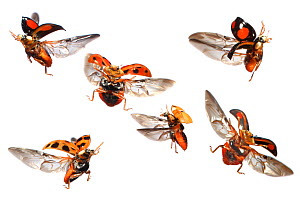 Various Ladybirds (Coccinellidae) in flight at different points of the wingbeat, against a white background. Surrey, UK, October. Composite  -  Kim Taylor