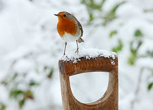 RF- European Robin (Erithacus rubecula) male on a snowy fork handle. Surrey, UK, January. (This image may be licensed either as rights managed or royalty free.)  -  Kim Taylor