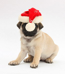 Fawn Pug puppy, 8 weeks, wearing a Father Christmas hat.  -  Mark Taylor