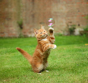 Ginger kitten on grass swiping at a soap bubble.  -  Mark Taylor