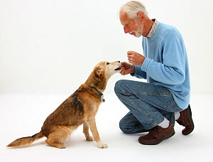 Man giving Lakeland Terrier x Border Collie bitch a treat. Model released NOT AVAILABLE FOR BOOK USE - Mark Taylor
