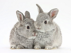 Two baby silver rabbits.  -  Mark Taylor