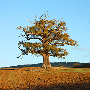 English Oak (Quercus robur) standing solitary in a field. Surrey, UK, November. Year sequence, 1 of 4 (winter). - Mark Taylor
