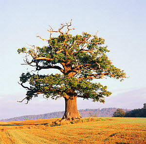 English Oak (Quercus robur) standing solitary in a field. Surrey, UK, October. Year sequence, 3 of 4 (autumn).  -  Mark Taylor