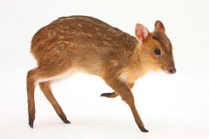 Muntjac Deer (Muntiacus reevesi) fawn in studio conditions, in profile. - Mark Taylor