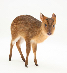 Portrait of a Muntjac Deer (Muntiacus reevesi) fawn. Studio conditions. - Mark Taylor