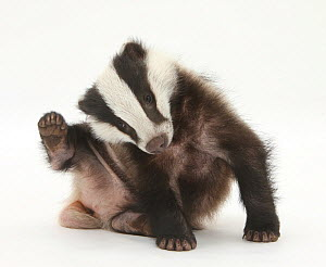 Young Badger (Meles meles) scratching himself.  -  Mark Taylor
