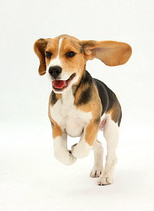 RF- Beagle puppy running. (This image may be licensed either as rights managed or royalty free.) - Mark Taylor