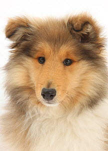 Portrait of a Rough Collie puppy, 14 weeks.  -  Mark Taylor