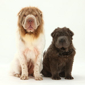 Bearcoat Shar Pei mother, with her Blue Bearcoat puppy, 13 weeks.  -  Mark Taylor