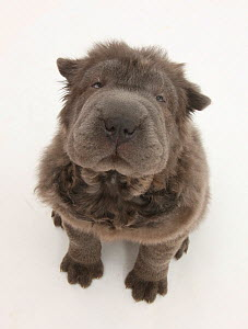 Blue Bearcoat Shar Pei puppy, 13 weeks, sitting and looking up.  -  Mark Taylor