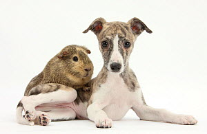 Brindle-and-white Whippet puppy, 9 weeks, with a guinea pig. NOT AVAILABLE FOR BOOK USE  -  Mark Taylor