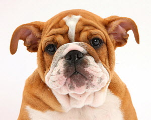 Head portrait of a Bulldog puppy, 11 weeks. - Mark Taylor