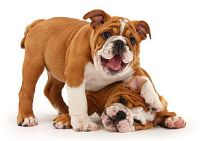 Two playful Bulldog puppies, 11 weeks. - Mark Taylor