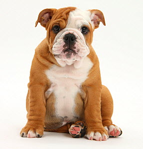 Portrait of a Bulldog puppy sitting, 11 weeks. - Mark Taylor
