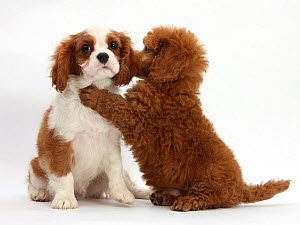 RF- Blenheim Cavalier King Charles Spaniel puppy, 11 weeks, with Apricot miniature Poodle puppy, 8 weeks. (This image may be licensed either as rights managed or royalty free.) - Mark Taylor