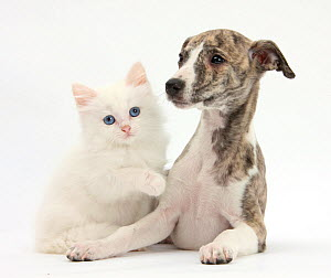 Brindle-and-white Whippet puppy, 9 weeks, with white Maine Coon-cross kitten. NOT AVAILABLE FOR BOOK USE  -  Mark Taylor