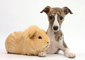 Brindle-and-white Whippet puppy, 9 weeks, with yellow guinea pig. NOT AVAILABLE FOR BOOK USE  -  Mark Taylor