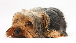 Yorkshire Terrier, lying with chin on the floor.  -  Mark Taylor