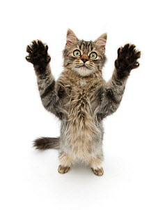 Tabby kitten, 5 months, standing up with raised paws. - Mark Taylor