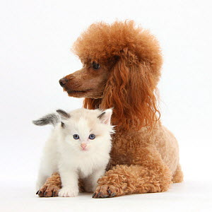 Red toy Poodle dog, and Ragdoll-cross kitten, 5 weeks. NOT AVAILABLE FOR BOOK USE  -  Mark Taylor