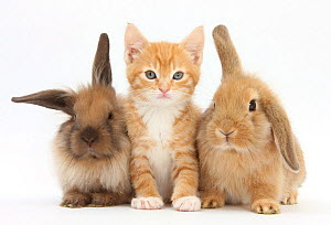 Ginger kitten, 7 weeks, sitting between two young Lionhead-Lop rabbits. NOT AVAILABLE FOR BOOK USE - Mark Taylor