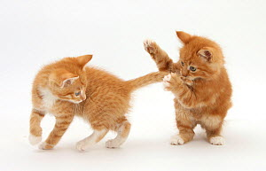 Two Ginger kittens play-fighting.  -  Mark Taylor