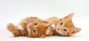 Two ginger kittens lying on their sides. - Mark Taylor