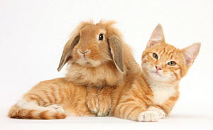 Ginger kitten with sandy Lionhead-Lop rabbit. NOT AVAILABLE FOR BOOK USE - Mark Taylor