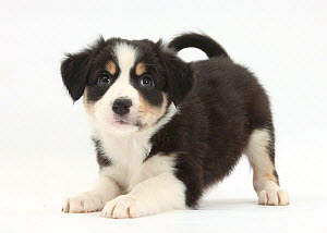 Tricolour Border Collie puppy in play-bow.  -  Mark Taylor
