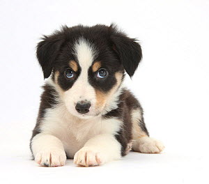 Tricolour Border Collie puppy.  -  Mark Taylor