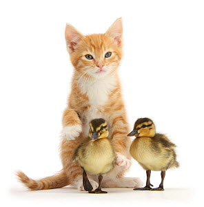 Ginger kitten and Mallard ducklings. NOT AVAILABLE FOR BOOK USE  -  Mark Taylor