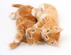 Two ginger kittens rolling playfully on their sides. NOT AVAILABLE FOR BOOK USE - Mark Taylor
