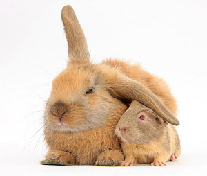 Young windmill-eared rabbit and matching guinea-pig. NOT AVAILABLE FOR BOOK USE - Mark Taylor