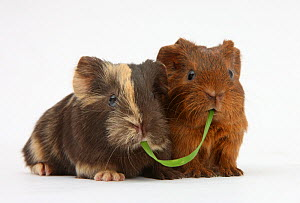 Two baby guinea pigs sharing a piece of grass. - Mark Taylor