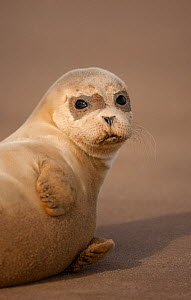 Common Seal (Phoca vitulina) pup, portrait on sand, Donna Nook, Lincolnshire, England, UK, October - Danny Green / 2020VISION