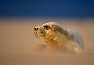 Grey Seal (Halichoerus grypus) pup resting on sand bank during sandstorm, Donna Nook, Lincolnshire, England, UK, November - Danny Green / 2020VISION