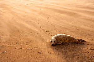 Grey Seal (Halichoerus grypus) pup resting on beach, Donna Nook, Lincolnshire, England, UK, November. Did you know? The grey seal is Britains largest carnivorous animal. - Danny Green / 2020VISION