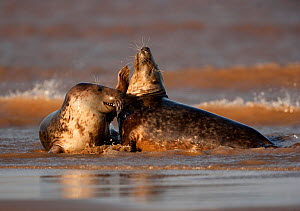 Grey seals (Halichoerus grypus) two adults fighting in the surf, Donna Nook, Lincolnshire, England, UK, October - Danny Green / 2020VISION