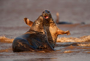"Grey seals (Halichoerus grypus) two adults fighting in the surf, Donna Nook, Lincolnshire, England, UK, October. Photographer quote: ""Sex and violence � grey seals are good at both! These two adolesce... - Danny Green / 2020VISION"