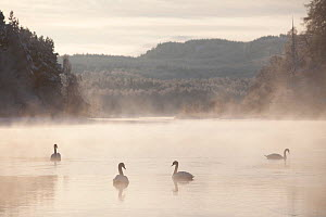 Mute swan (Cygnus olor) four on water in winter dawn mist, Loch Insh, Cairngorms NP, Highlands, Scotland UK, December. 2020VISION Exhibition. 2020VISION Book Plate.  -  Peter Cairns / 2020VISION