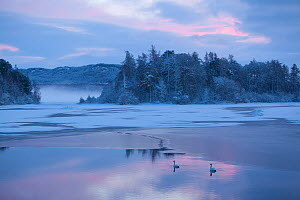 RF- Mute swan (Cygnus olor) pair on water at sunset. Loch Insh, Cairngorms National Park, Highlands, Scotland UK, December. (This image may be licensed either as rights managed or royalty free.) - Peter  Cairns / 2020VISION