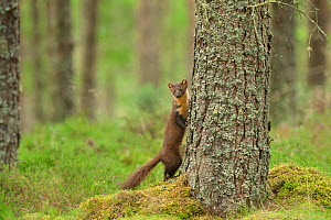 Pine marten (Martes martes) adult female beside tree in caledonian forest, The Black Isle, Highlands, Scotland, UK. July. - Terry Whittaker / 2020VISION