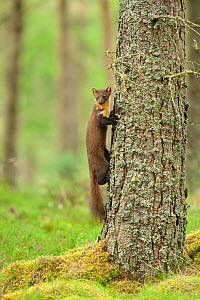 Pine marten (Martes martes) adult female climbing tree in caledonian forest, The Black Isle, Highlands, Scotland, UK. July. - Terry Whittaker / 2020VISION