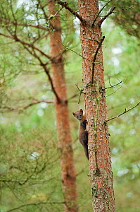 Pine marten (Martes martes) 4-5 month kit taking refuge in tree in caledonian forest after alarm call from adult female, The Black Isle, Highlands, Scotland, UK, July - Terry Whittaker / 2020VISION