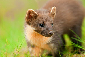Pine marten (Martes martes) 4-5 month kit in caledonian forest, The Black Isle, Highlands, Scotland, UK, July. Did you know? Despite their small size Pine martens defend territories up to 25 km2. - Terry Whittaker / 2020VISION